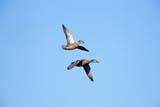 BIR DUC MAL  SK  GMM0001696D  MALLARD DUCKS (FEMALE) IN FLIGHTQUILL LAKE                            07/..   © GARFIELD MACGILLIVRAY     ALL RIGHTS RESERVED BIRDS;DUCKS;FEMALE;FLIGHT;MALLARD_DUCK;PLAINS;PRAIRIES;QUILL_LAKE;SASKATCHEWAN;SK_; SUMMERLONE PINE PHOTO                 (306) 683-0889
