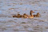 BIR DUC MAL  SK  RLG04HC023DXMALLARD DUCK AND DUCKLINGS ON WATER (FEMALE)SASKATOON                          ../..   © ROBERT GREEN                  ALL RIGHTS RESERVEDBABIES;BIRDS;DUCKLINGS;DUCKS;FAMILIES;FEMALE;MALLARD_DUCK;PLAINS;PRAIRIES;SASKATCHEWAN;SASKATOON;SK_;SUMMER;WATERLONE PINE PHOTO                 (306) 683-0889