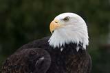 BIR EAG BAL  NS  CRS08C0661DXBALD EAGLESHUBENACADIE WILDLIFE PARKSHUBENACADIE                              02© CLIFF SANDESON                        ALL RIGHTS RESERVEDATLANTIC;BALD_EAGLE;BIRDS;EAGLES;EAST_COAST;MARITIMES;NOVA;NOVA_SCOTIA;NS_;SCOTIA;SHUBENACADIE;SHUBENACADIE_WILDLIFE_PARK;WINTERLONE PINE PHOTO              (306) 683-0889