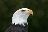 BIR EAG BAL  NS  CRS08C0663DXBALD EAGLESHUBENACADIE WILDLIFE PARKSHUBENACADIE                              02© CLIFF SANDESON                        ALL RIGHTS RESERVEDATLANTIC;BALD_EAGLE;BIRDS;EAGLES;EAST_COAST;MARITIMES;NOVA;NOVA_SCOTIA;NS_;SCOTIA;SHUBENACADIE;SHUBENACADIE_WILDLIFE_PARK;WINTERLONE PINE PHOTO              (306) 683-0889