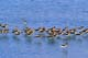 FLOCK OF AMERICAN AVOCETS STANDING IN WATER, QUILL LAKE