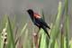 MALE RED-WINGED BLACKBIRD, ENGLISHMAN LAKE