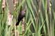 FEMALE RED-WINGED BLACKBIRD, ENGLISHMAN LAKE