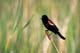 RED-WINGED BLACKBIRD, QUILL LAKE