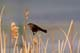RED-WINGED BLACKBIRD ON CATTAIL, SASKATOON