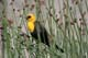 YELLOW HEADED BLACKBIRD IN REEDS WITH FOOD IN MOUTH, TUNKWA LAKE