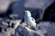 MALE SNOW BUNTING ON ROCK, CAMBRIDGE BAY