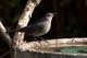 GRAY CATBIRD AT BIRDBATH, SASKATOON