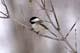 BLACK-CAPPED CHICKADEE ON TREE BRANCH, SASKATOON