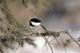 BLACK-CAPPED CHICKADEE ON SPRUCE TREE BRANCH, SASKATOON