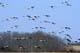 SANDHILL CRANES IN FLIGHT, QUILL LAKE