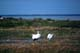 WHOOPING CRANES PREENING, QUILL LAKE