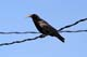 COMMON CROW ON POWER LINE, FOOD IN MOUTH, SASKATOON