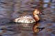 CANVASBACK DUCK (FEMALE) ON WATER, SASKATOON