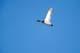 MALLARD DUCKS (DRAKE) IN FLIGHT, QUILL LAKE