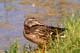 MALLARD DUCK ON GRASSY SHORE, SASKATOON