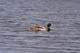 MALLARD DUCKS ON WATER, SASKATOON