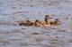 MALLARD DUCK AND DUCKLINGS ON WATER, SASKATOON