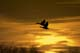 MALLARD DUCKS FLYING AT SUNRISE, SASKATOON
