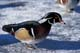 WOOD DUCK ON ICE, FORT WHYTE NATURE CENTRE, WINNIPEG