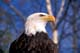 BALD EAGLE CLOSEUP, PORT DOVER