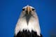 BALD EAGLE CLOSEUP, MASSEY