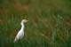 CATTLE EGRET IN THE GRASS, QUILL LAKE