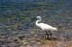 SNOWY EGRET, POINT PEELE NATIONAL PARK