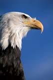 BIR EAG BAL  ON  BMM1000003D  VTBALD EAGLE(HALIAEETUS LEUCOCEPHALUS)ONTARIO                                      07© BEV MCMULLEN                          ALL RIGHTS RESERVEDBALD_EAGLE;BIRDS;BULLETINS;CENTRAL;EAGLES;ON_;ONTARIO;SUMMER;VTLLONE PINE PHOTO              (306) 683-0889