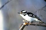 BIR WOO DOW  SK   WS21825D  DOWNY WOODPECKER IN WINTERPIKE LAKE PROV. PK.           02/..© WAYNE SHIELS                ALL RIGHTS RESERVEDBIRDS;DOWNY_WOODPECKER;FEMALE;PIKE_LAKE_PP;PP_;PLAINS;PRAIRIES;SASKATCHEWAN;SK_;WINTER;WOODPECKERSLONE PINE PHOTO              (306) 683-0889