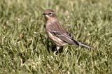 BIR WAR YEL  SK  RLG04HG437DXYELLOW-THROATED WARBLER IN GRASSSASKATOON                          ../..   © ROBERT GREEN                  ALL RIGHTS RESERVED  BIRDS;PLAINS;PRAIRIES;SASKATCHEWAN;SASKATOON;SK_;SUMMER;WARBLERS;YELLOW_THROATED_WARBLER LONE PINE PHOTO                 (306) 683-0889