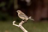 BIR WAR YEL  SK  RLG04HG438DXYELLOW-THROATED WARBLER ON BRANCHSASKATOON                          ../..   © ROBERT GREEN                  ALL RIGHTS RESERVED  BIRDS;PLAINS;PRAIRIES;SASKATCHEWAN;SASKATOON;SK_;SUMMER;WARBLERS;YELLOW_THROATED_WARBLER LONE PINE PHOTO                 (306) 683-0889