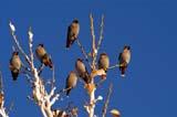 BIR WAX BOH  SK  RLG04HL010DXBOHEMIAN WAXWINGS ON BRANCHSASKATOON                          ../..   © ROBERT GREEN                  ALL RIGHTS RESERVED  BIRDS;BOHEMIAN_WAXWING;PERCHING;PLAINS;PRAIRIES;SASKATCHEWAN;SASKATOON;SK_;WAXWINGSLONE PINE PHOTO                 (306) 683-0889