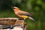 BIR WAX CED  SK  RLG04HB014DXCEDAR WAXWING AT BIRDBATHSASKATOON                          ../..   © ROBERT GREEN                  ALL RIGHTS RESERVEDBIRDBATHS;BIRDS;CEDAR_WAXWING;PLAINS;PRAIRIES;SASKATCHEWAN;SASKATOON;SK_;SUMMER;WAXWINGSLONE PINE PHOTO                 (306) 683-0889