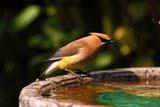 BIR WAX CED  SK  RLG04HB017DXCEDAR WAXWING AT BIRDBATHSASKATOON                          ../..   © ROBERT GREEN                  ALL RIGHTS RESERVEDBIRDBATHS;BIRDS;CEDAR_WAXWING;PLAINS;PRAIRIES;SASKATCHEWAN;SASKATOON;SK_;SUMMER;WAXWINGSLONE PINE PHOTO                 (306) 683-0889