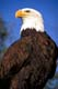 BALD EAGLE, ONTARIO