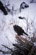 BALD EAGLE IN WINTER, SUDBURY