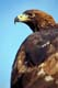 GOLDEN EAGLE CLOSEUP, TORONTO