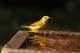 MALE YELLOW WARBLER AT BIRDBATH, SASKATOON