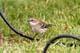 YELLOW WARBLER IN GRASS BY WIRE, SASKATOON