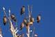 BOHEMIAN WAXWINGS ON BRANCH, SASKATOON