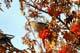 BOHEMIAN WAXWING ON BRANCH, SASKATOON