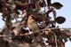 CEDAR WAXWING FEEDING IN TREE, SASKATOON