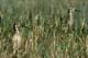 WHIMBRELS IN GRASS, CHURCHILL