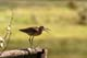 WILLET ON FENCE, SASKATOON