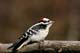 DOWNY WOODPECKER, GREENS CREEK
