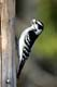 MALE DOWNY WOODPECKER, GREENS CREEK