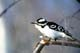 DOWNY WOODPECKER IN WINTER, PIKE LAKE PROVINCIAL PARK