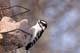 MALE DOWNY WOODPECKER ON SUET FEEDER, SASKATOON