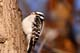 FEMALE DOWNY WOODPECKER, SASKATOON
